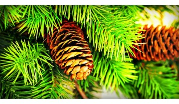 Pine Bark Shortens Cold Duration